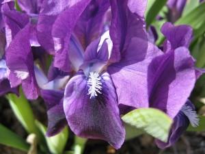Closeup of dwarf iris