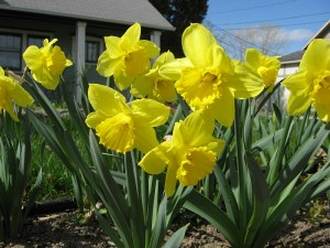 JAK's daffodils